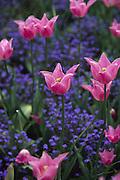 Tulips, Buchart Gardens, Victoria, B.C., Canada<br />