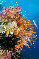 Wrasse, Feather Stars, and Soft Corals<br /> <br /> Shot in Raja Ampat Marine Protected Area West Papua Province, Indonesia