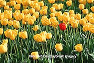 67221-003.17 Lone Red Tulip in Yellow Tulip field  Skagit Valley  WA