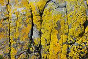 Yellow lichen. Neist Point on Isle of Skye, Scotland, United Kingdom, Europe.