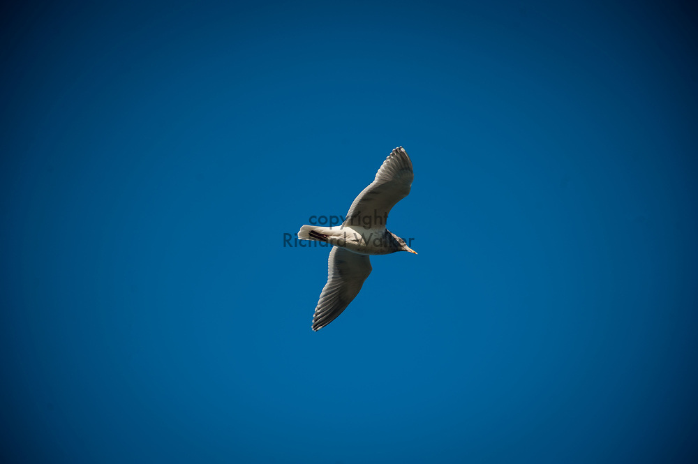 2017 NOVEMBER 06 - Seagull flies near Alki Beach, Seattle, WA, USA. By Richard Walker