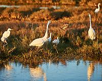 Great Egret (Ardea alba), Snowy Egret (Egretta thula). Black Point Wildlife Drive. Merritt Island National Wildlife Refuge. Image taken with a Nikon D3 camera and 70-200 mm f/2.8 VR lens.