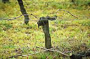 Guyot pruned vines in the vineyard. Margaux. Medoc, Bordeaux, France
