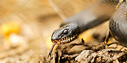 Large Whipsnake (Coluber jugularis) photographed in Israel in March