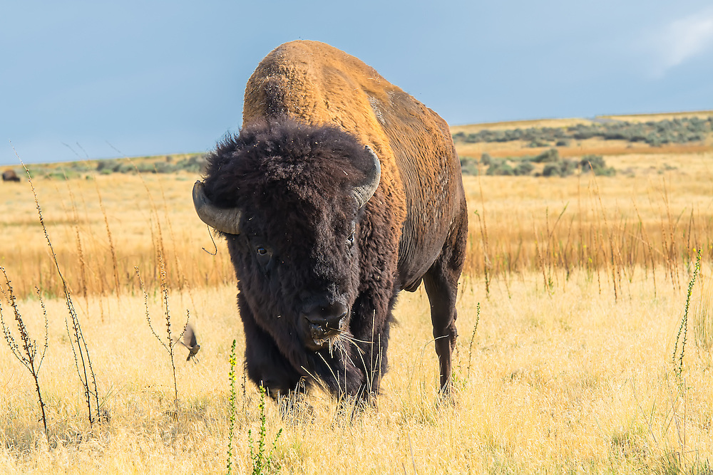 Fossil records show that these bison have evolved and expanded across the north hemisphere in North America , Europe and Asia since the last ice age. In North America, several species of bison are thought to have thrived after the arrival of the first humans and the extinction of most of the ancient megafauna and other predators, such as the saber-toothed cat and dire wolf. The lack of competition for grazing across the vast prairies meant virtually no limit to population growth, considering the continent's vast size and recently extinct herds of other large herbivores.