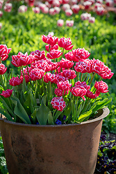 Tulipa 'Columbus' in a terracotta pot