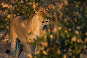 A  female lioness (Panthera leo) looking out from behind a bush, Okavango Delta, Moremi,  Botswana