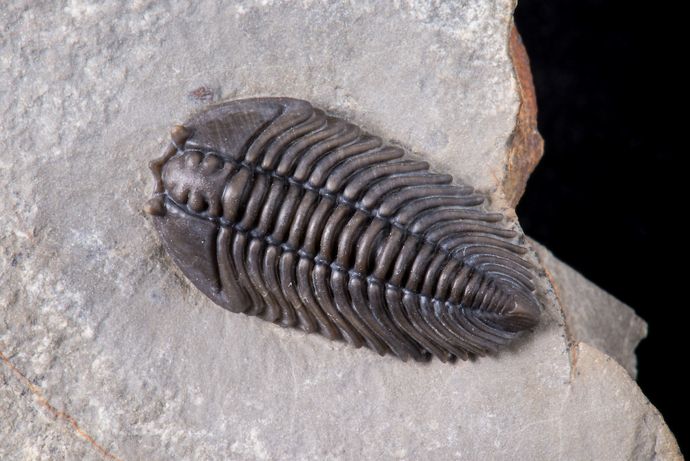 Pseudocybele nasuta (sagittal length: 25mm) is a near perfect three-dimensional pliomerid trilobite collected from the Ninemile Shale in Eureka County, Nevada.