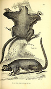 Taguan (Flying squirrel) from General zoology, or, Systematic natural history Vol 2 Mammalia, by Shaw, George, 1751-1813; Stephens, James Francis, 1792-1853; Heath, Charles, 1785-1848, engraver; Griffith, Mrs., engraver; Chappelow. Copperplate Printed in London in 1801 by G. Kearsley