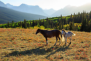Horses on the Blackfeet Reservation near Glacier National Park.