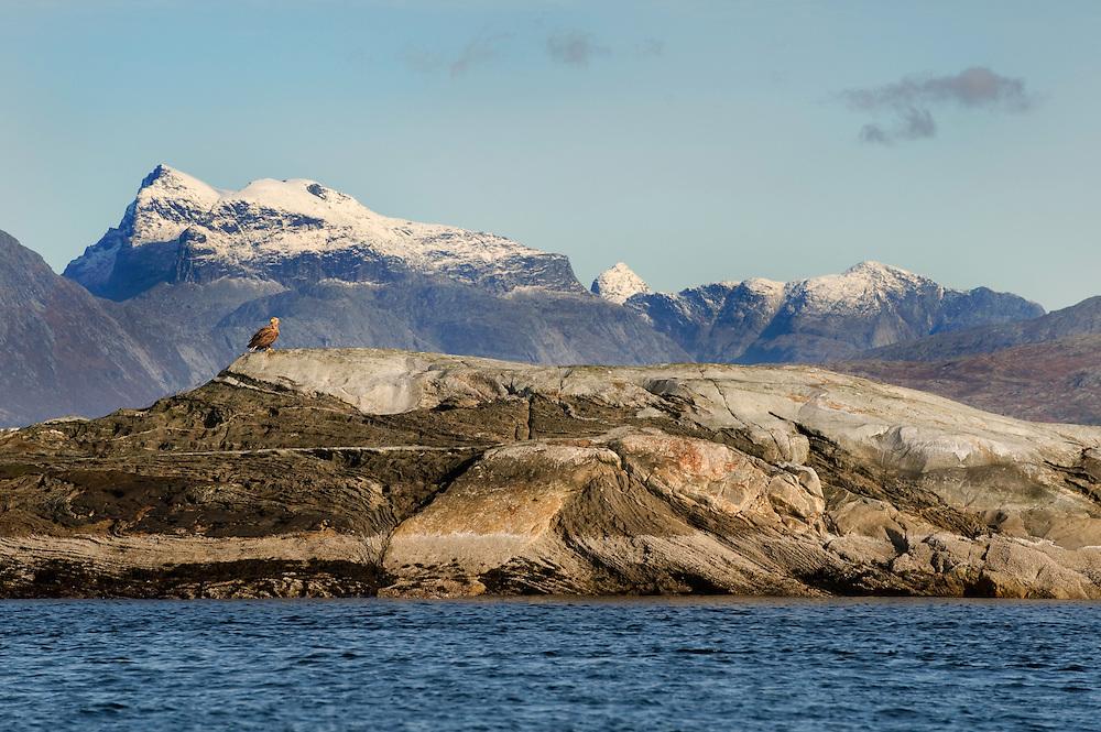 White-tailed eagle, Haliaeetus albicilla <br /> Atlantic marine life, Saltstraumen, Bodö, Norway