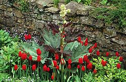 Red tulips with Rheum palmatum atrosanguineum