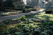 Snowdrops (Galanthus nivalis) on a misty morning in the garden at Chiswick House, Chiswick, London, UK