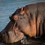 Late afternoon sun illuminates the texture of the most dangerous animal in Africa (Hippopotamus). Chobe River, Botswana.