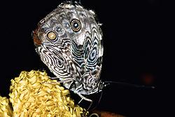 Nettle Bark Wing Butterfly