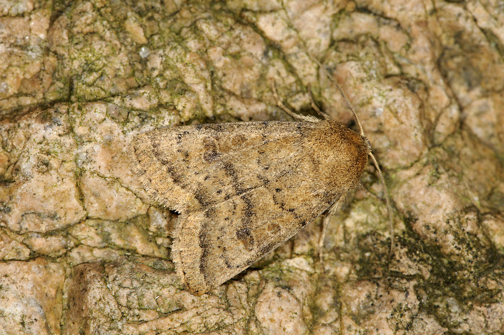 The Uncertain Hoplodrina alsines Length 16-18mm. A uniformly-marked moth that is hard to distinguish from The Rustic. It usually rests with one forewing partly overlapping the other. Adult typically has rather matt yellowish-brown forewings with dark cross lines and a central dark spot and kidney-shaped mark. Flies June-August. Larva feeds on various low-growing herbaceous plants. Widespread but commonest in central and southern Britain.