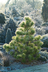 Pinus radiata 'Aurea' on a frosty morning in winter at Ashwood Nurseries. Monterey pine