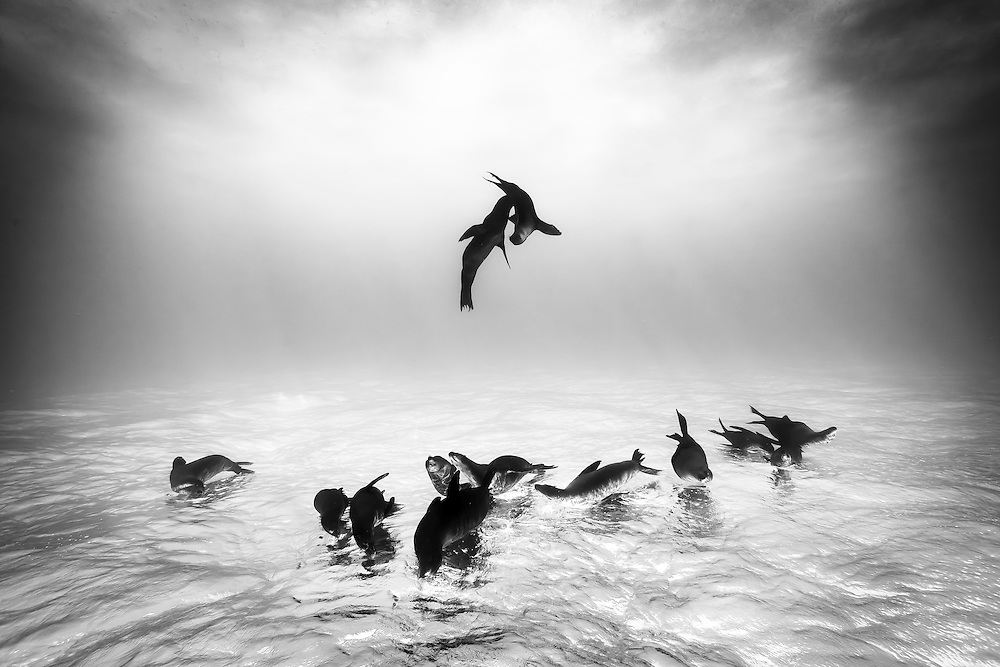 México, Baja California, Sea of Cortez. A group of sea lions resting and playing at the surface near La Paz.