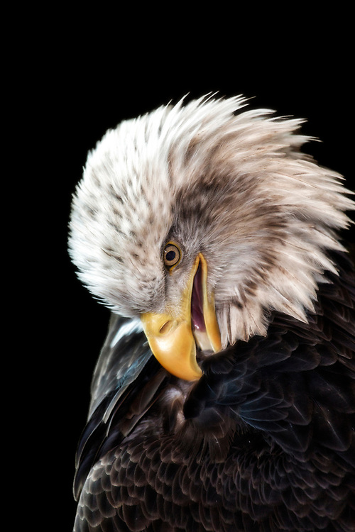 Bald Eagle Grooming Day - Time for a little feather maintenance