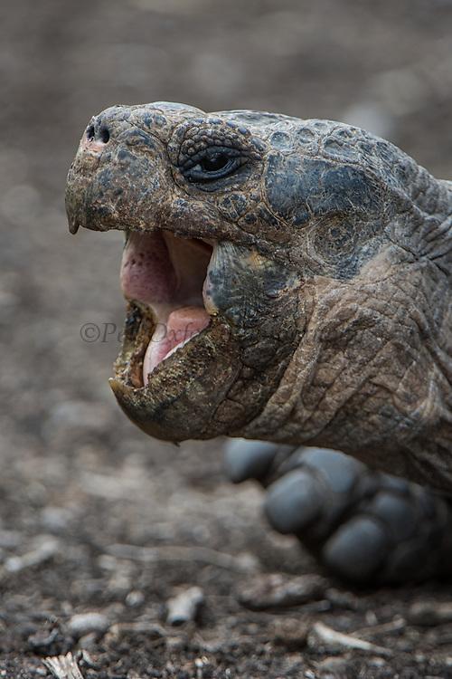 Galapagos Giant Tortoise (Geochelone sp)<br /> Highlands, Floreana Island<br /> Galapagos<br /> Ecuador,  South America<br /> CAPTIVE