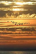 Oystercatchers at sunset - Haematopus ostralegus