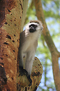 Africa, Tanzania, Lake Manyara National Park, Vervet Monkey (Chlorocebus pygerythrus)