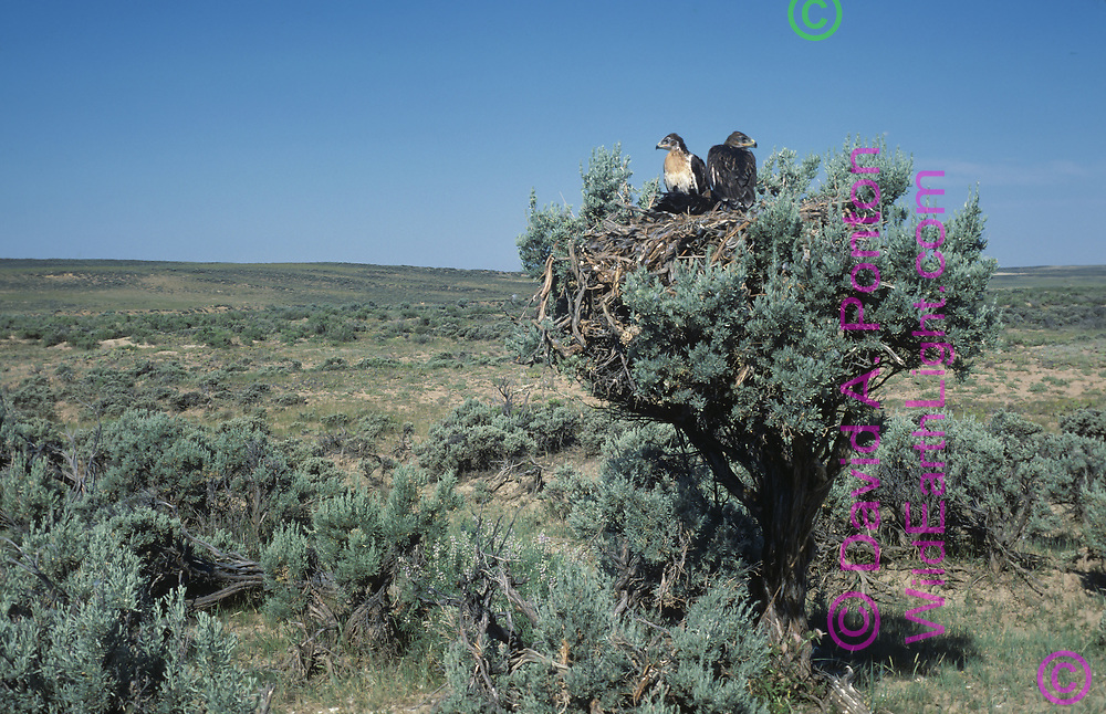 Ferruginous hawk  nestlings on nest constructed in big sagebrush (Artemesia tridentata) in Wyoming big sagebrush steppe habitat,  © David A. Ponton