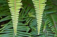 Old World Forked Fern, Dicranopteris  linearis, Yangmingshan National Park, Taipei, Taiwan