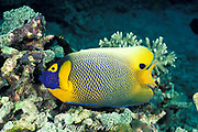 yellowface, yellow-masked, yellowmask, blueface, yellow-faced, blue-face or blue-faced angelfish, <br /> Pomacanthus xanthometopon, Sipadan Island, off Borneo, Malaysia