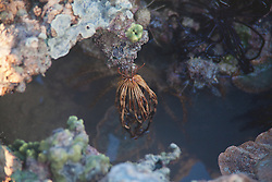 A featherstar (Crinoid) hangs onto a rock by its cirrhi on Turtle Reef, Talbot Bay.