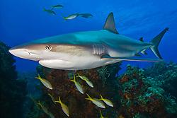 Caribbean Reef Shark, Carcharhinus perezi, swimming over coral reef ledges with yellowtail snappers, Ocyurus chrysurus, West End, Grand Bahama, Atlantic Ocean.