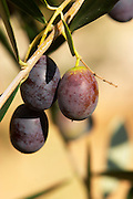 In the courtyard, black olives on an olive branch. Chateau Mourgues du Gres Grès, Costieres de Nimes, Bouches du Rhone, Provence, France, Europe