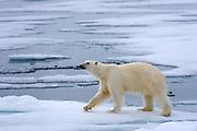 Polar Bear (Ursus maritimus) in the pack ice at 81.5 degrees north off Spitsbergen Svalbard, Norway