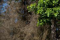 06.06.2016 Puszcza Bialowieska woj podlaskie N/z uschniete swierki zaatakowane przez kornika drukarza fot Michal Kosc / AGENCJA WSCHOD