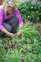 Deadheading and cutting back oriental poppies after they have finished flowering.