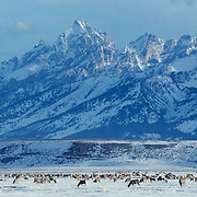 Elk, (Cervus elaphus) Teton Range rises above herd of Elk feeding in National Elk Refuge. Jackson Hole, Wyoming.