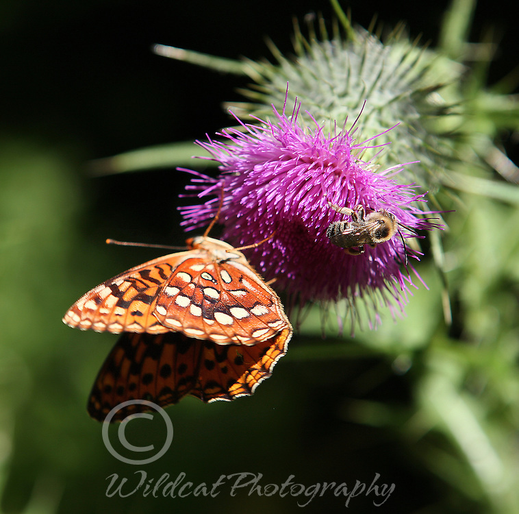 Bee and Butterfly on Thistle