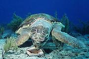 loggerhead sea turtle, Caretta caretta, attempts to crack open shell of queen conch, Strombus gigas, Bahamas ( Western Atlantic Ocean )
