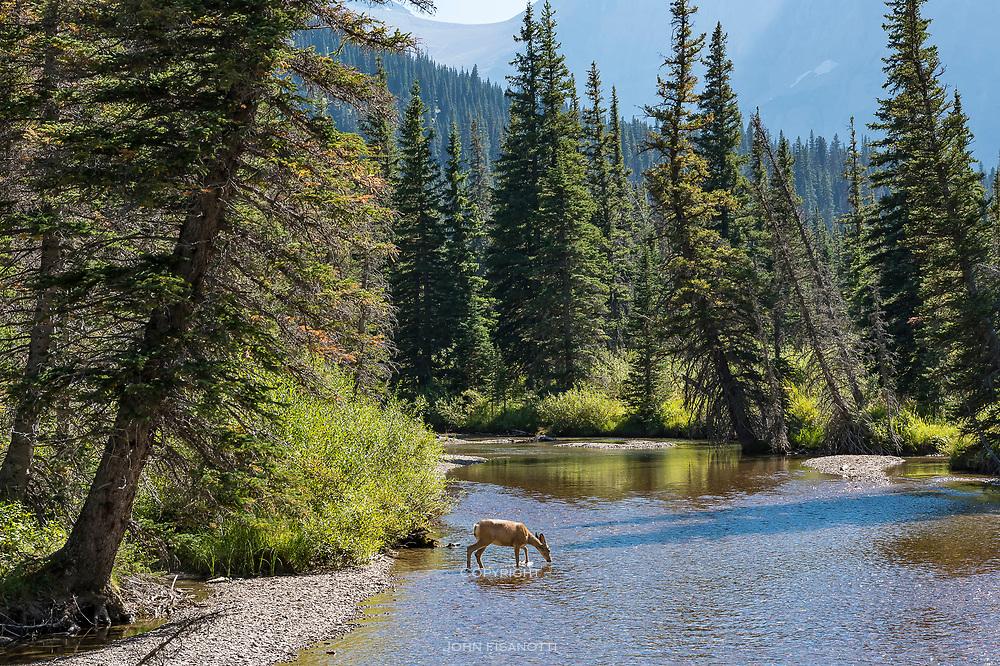 A deer enters Grinnell Creek, Glacier National Park