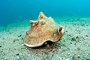 A Queen Conch, Strombus gigas, a protected species in Florida, crawls over a coral reef offshore Palm Beach.