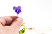 Woman's hand holding Common Blue Violet by the stem, showing flower, leaves, roots.