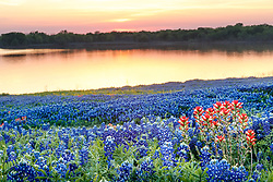 Field of Indian paintbrush (Castilleja indivisa) and bluebonnets (Lupinus texensis) at dusk near shore of Lake Bardwell, Ennis, Texas USA.