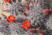 """One of the most striking and beautiful of all the """"barrel"""" cacti of the American Southwestern deserts, the claret cup cactus (also known regionally by many names such as the kingcup, queencup, hedgehog cactus, pitaya roja, etc.) has large, showy and brilliantly red flowers that attract and are pollinated by hummingbirds. Unlike most cacti, the flowers of the claret cup stay open at night. Some native American tribes who shared the same habitat would collect these cacti, burn off the sharp spines, and mash them into a pulp with some locally procured sweetener (honey?) and bake them into mini sweet cakes. This one was found and photographed on a beautiful spring day in the Sevilleta National Wildlife Refuge in Central New Mexico."""
