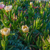Ice Plant blooms along the California Coast near Pescadero.