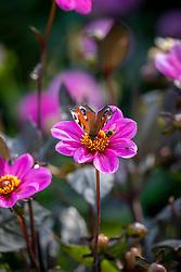 Peacock butterfly -Aglais io - on Dahlia Happy Single Juliet syn. 'Hs Juliet'  - Happy Single Series