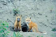 Red fox (Vulpes vulpes)  pups in fromt of den<br />Stewart Cassiar Highway<br />British Columbia<br />Canada