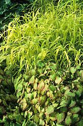 Milium effusum 'Aureum' and Epimedium in the woodland garden at Beth Chatto's. Bowles Golden Grass