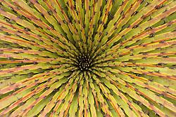 """South America, Ecuador. """"Puya"""" bromeliad, Cajas National Park (Parque Nacional El Cajas), 35km northwest of Cuenca"""