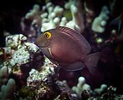 Yellow eyed surgeonfish, Ctenochaetus strigosus, kole tang or spotted surgeonfish or goldring surgeonfish or yellow-eyed tang, is a marine reef tang in the fish family Acanthuridae in Hawaii, Big Island