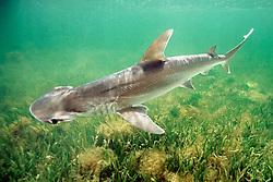 bonnethead shark, Sphyrna tiburo, Little Card Sound, Biscayne Bay, Key Largo, Florida, Atlantic Ocean